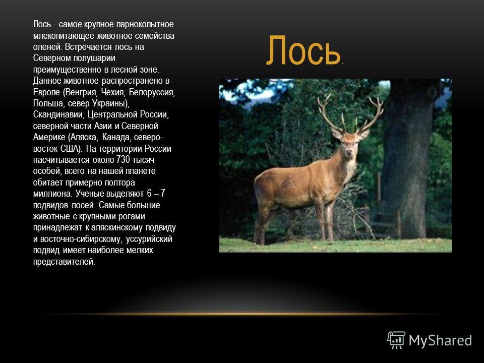 Лось. Лось - самое крупное парнокопытное млекопитающее животное семейства оленей. Встречается лось на Северном полушарии преимущественно в лесной зоне. Данное животное распространено в Европе (Венгрия, Чехия, Белоруссия, Польша, север Украины), Сканд
