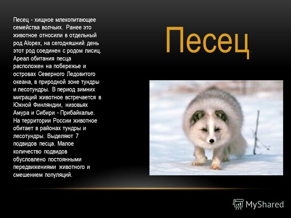 Песец. Песец - хищное млекопитающее семейства волчьих. Ранее это животное относили в отдельный род Alopex, на сегодняшний день этот род соединен с родом лисиц. Ареал обитания песца расположен на побережье и островах Северного Ледовитого океана, в при