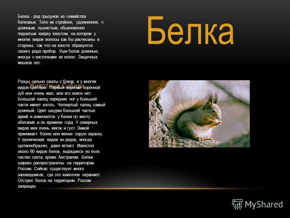 Животные Сибири. Белка - род грызунов из семейства белковых. Тело их стройное, удлиненное, с длинным, пушистым, обыкновенно поднятым кверху хвостом, на котором у многих видов волосы как бы расчесаны в стороны, так что на хвосте образуется своего рода