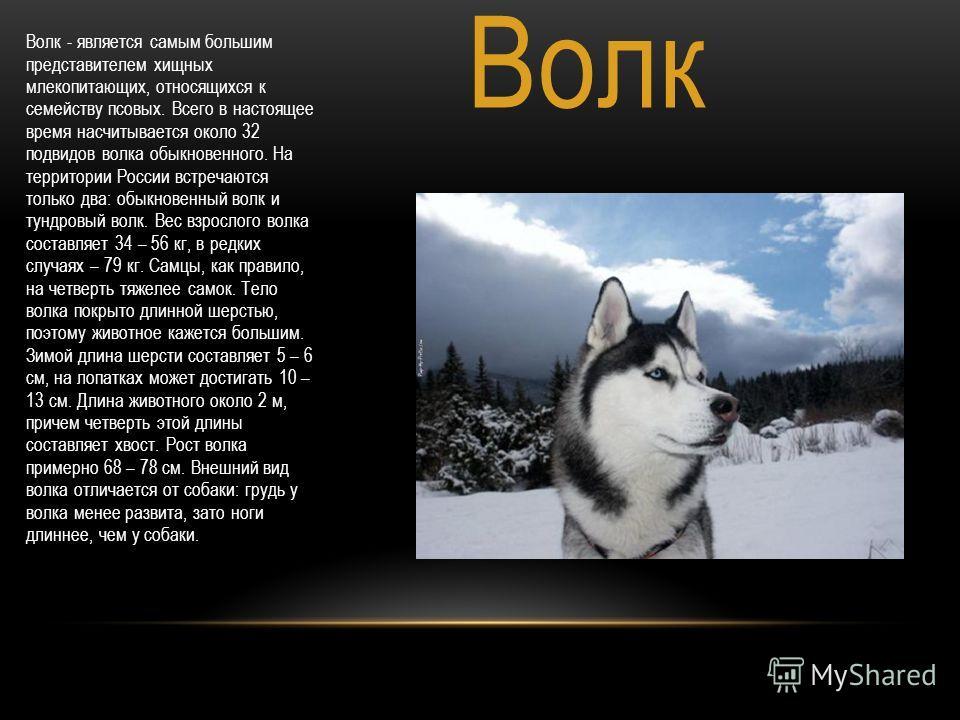 Волк Волк - является самым большим представителем хищных млекопитающих, относящихся к семейству псовых. Всего в настоящее время насчитывается около 32 подвидов волка обыкновенного. На территории России встречаются только два: обыкновенный волк и тунд
