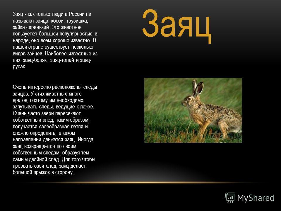 Заяц. Заяц - как только люди в России ни называют зайца: косой, трусишка, зайка серенький. Это животное пользуется большой популярностью в народе, оно всем хорошо известно. В нашей стране существует несколько видов зайцев. Наиболее известные из них: