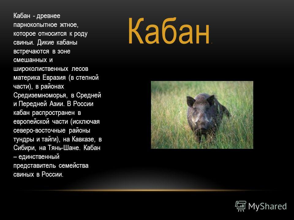 Кабан. Кабан - древнее парнокопытное жтное, которое относится к роду свиньи. Дикие кабаны встречаются в зоне смешанных и широколиственных лесов материка Евразия (в степной части), в районах Средиземноморья, в Средней и Передней Азии. В России кабан р