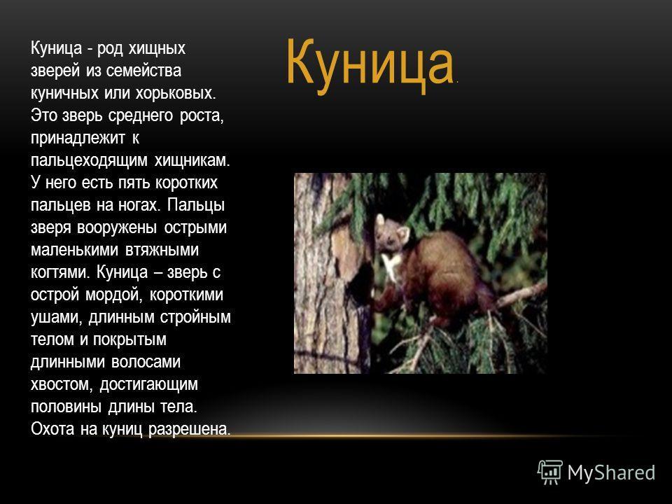 Куница. Куница - род хищных зверей из семейства куничных или хорьковых. Это зверь среднего роста, принадлежит к пальцеходящим хищникам. У него есть пять коротких пальцев на ногах. Пальцы зверя вооружены острыми маленькими втяжными когтями. Куница – з
