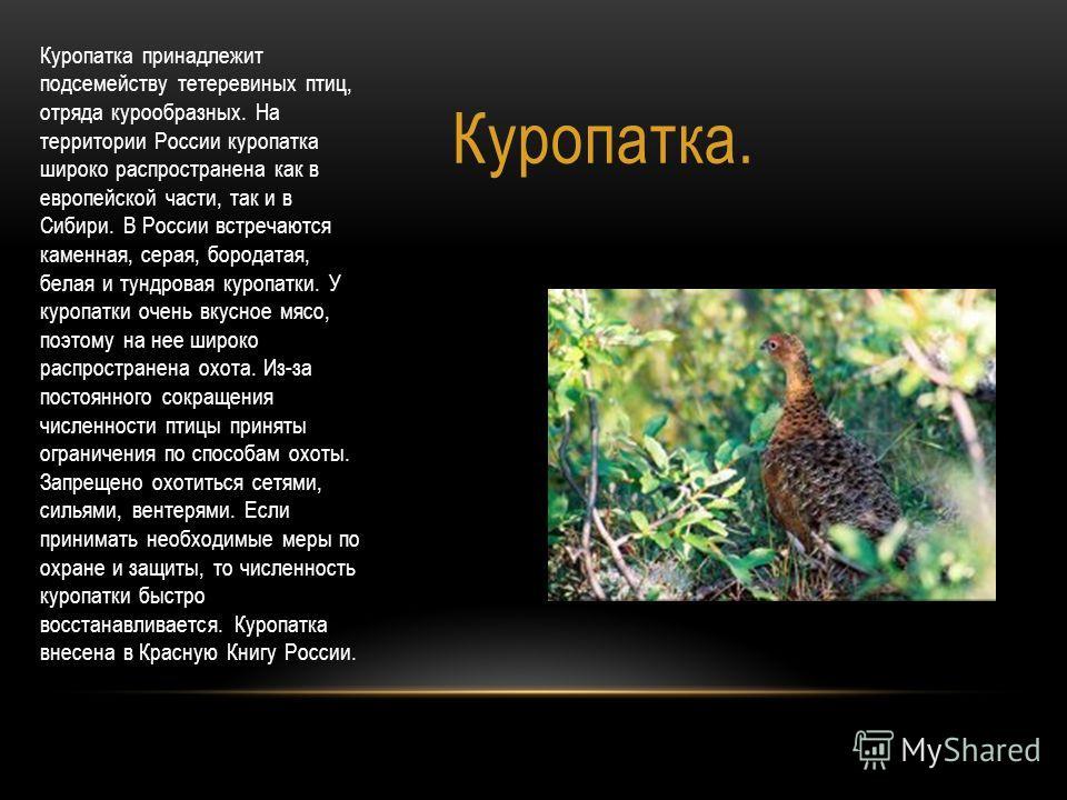 Куропатка. Куропатка принадлежит подсемейству тетеревиных птиц, отряда курообразных. На территории России куропатка широко распространена как в европейской части, так и в Сибири. В России встречаются каменная, серая, бородатая, белая и тундровая куро