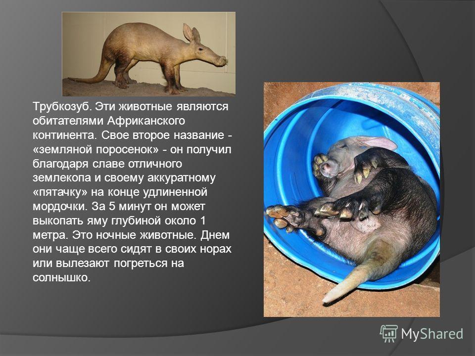 Трубкозуб. Эти животные являются обитателями Африканского континента. Свое второе название - «земляной поросенок» - он получил благодаря славе отличного землекопа и своему аккуратному «пятачку» на конце удлиненной мордочки. За 5 минут он может выкопа