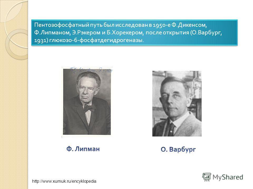Пентозофосфатный путь был исследован в 1950- е Ф. Дикенсом, Ф. Липманом, Э. Рэкером и Б. Хорекером, после открытия ( О. Варбург, 1931) глюкозо -6- фосфатдегидрогеназы. http://www.xumuk.ru/encyklopedia