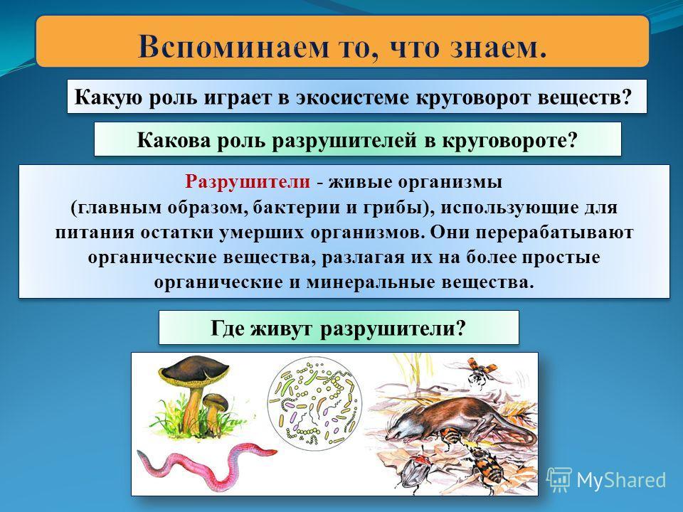 Какую роль играет в экосистеме круговорот веществ? Разрушители - живые организмы (главным образом, бактерии и грибы), использующие для питания остатки умерших организмов. Они перерабатывают органические вещества, разлагая их на более простые органиче