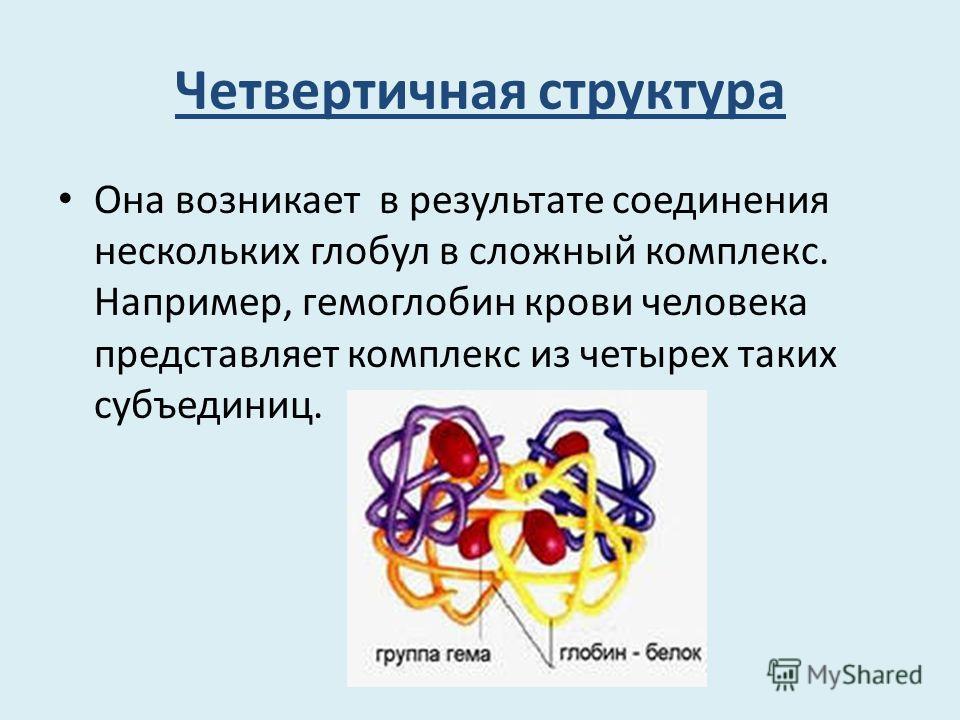 Четвертичная структура Она возникает в результате соединения нескольких глобул в сложный комплекс. Например, гемоглобин крови человека представляет комплекс из четырех таких субъединиц.