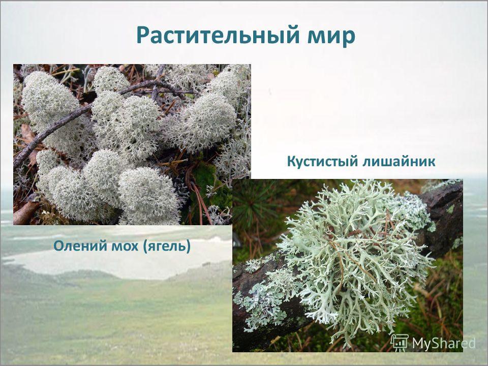 Растительный мир Олений мох (ягель) Кустистый лишайник
