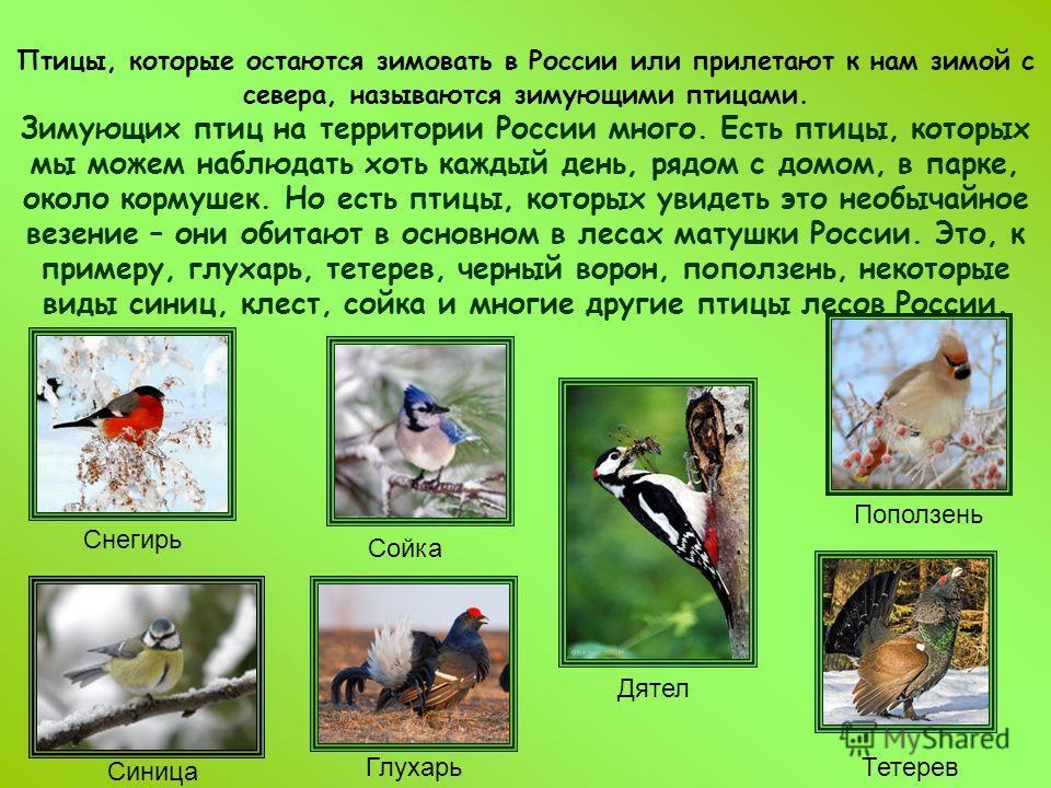 Птицы, которые остаются зимовать в России или прилетают к нам зимой с севера, называются зимующими птицами. Зимующих птиц на территории России много. Есть птицы, которых мы можем наблюдать хоть каждый день, рядом с домом, в парке, около кормушек. Но