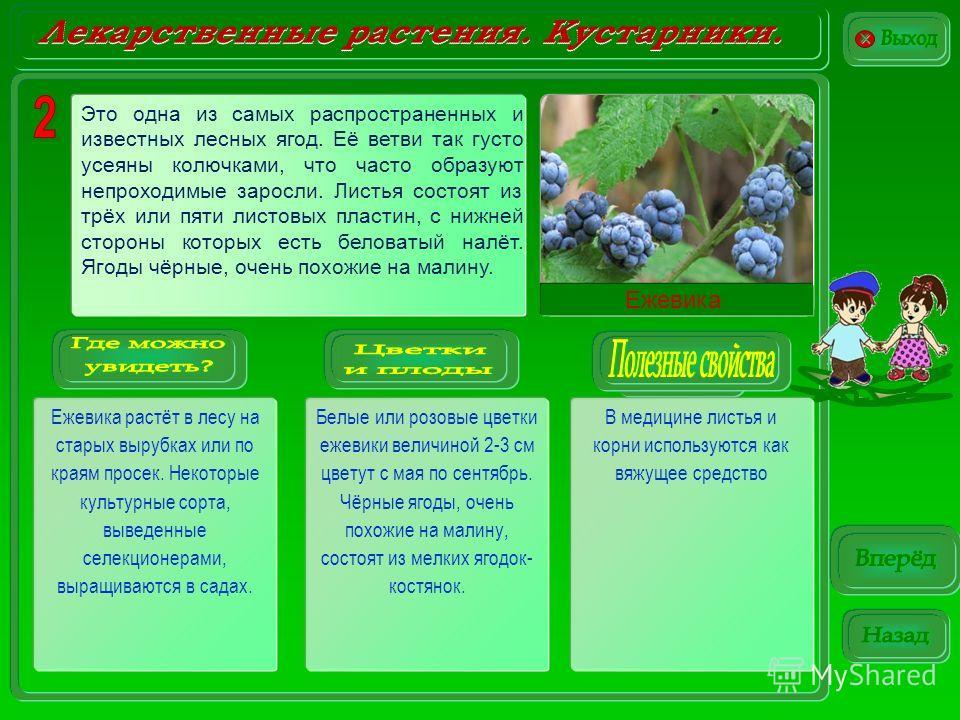Ежевика растёт в лесу на старых вырубках или по краям просек. Некоторые культурные сорта, выведенные селекционерами, выращиваются в садах. Белые или розовые цветки ежевики величиной 2-3 см цветут с мая по сентябрь. Чёрные ягоды, очень похожие на мали