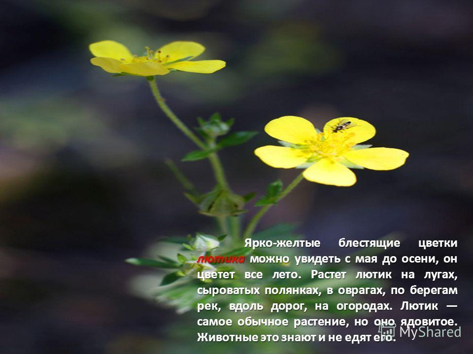 Ярко-желтые блестящие цветки лютика можно увидеть с мая до осени, он цветет все лето. Растет лютик на лугах, сыроватых полянках, в оврагах, по берегам рек, вдоль дорог, на огородах. Лютик самое обычное растение, но оно ядовитое. Животные это знают и