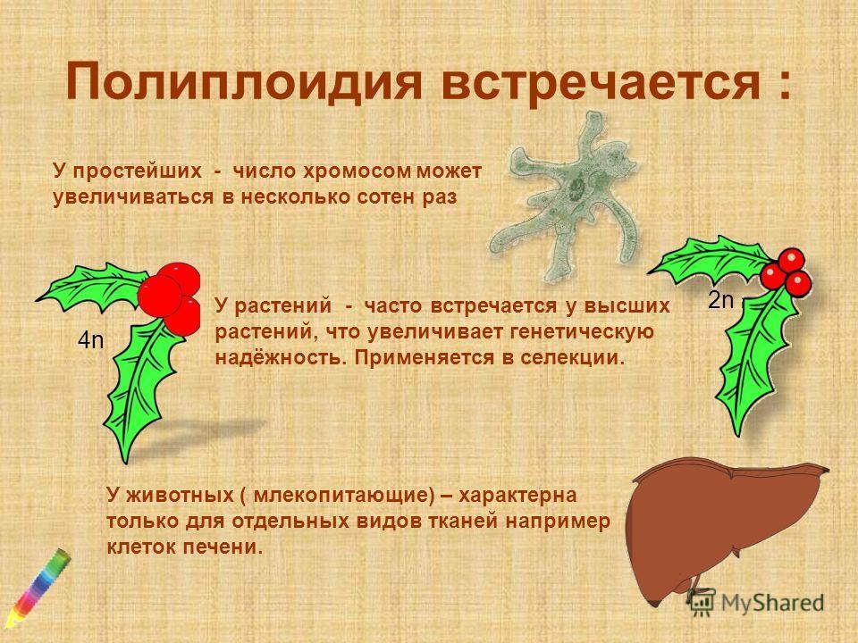 Полиплоидия встречается : У простейших - число хромосом может увеличиваться в несколько сотен раз У растений - часто встречается у высших растений, что увеличивает генетическую надёжность. Применяется в селекции. У животных ( млекопитающие) – характе