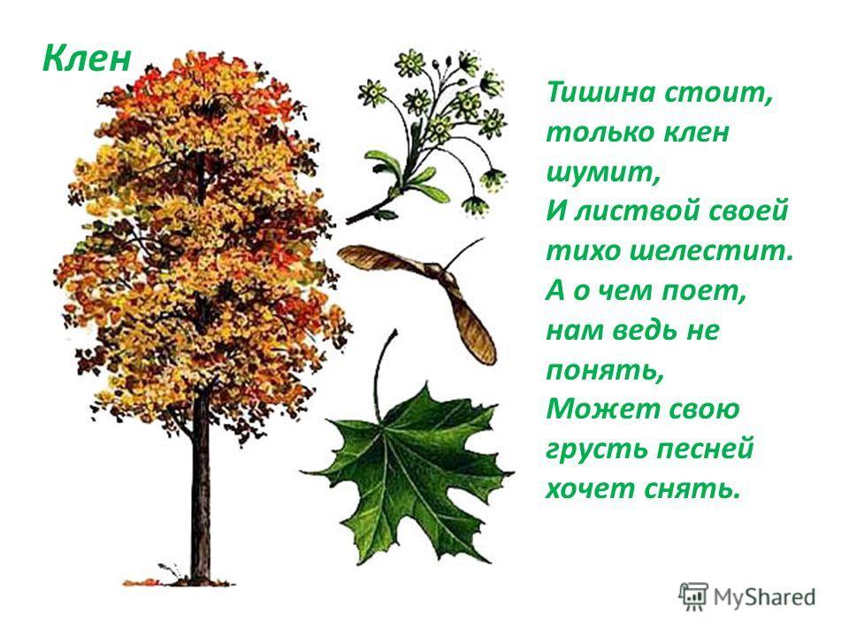 Тишина стоит, только клен шумит, И листвой своей тихо шелестит. А о чем поет, нам ведь не понять, Может свою грусть песней хочет снять. Клен