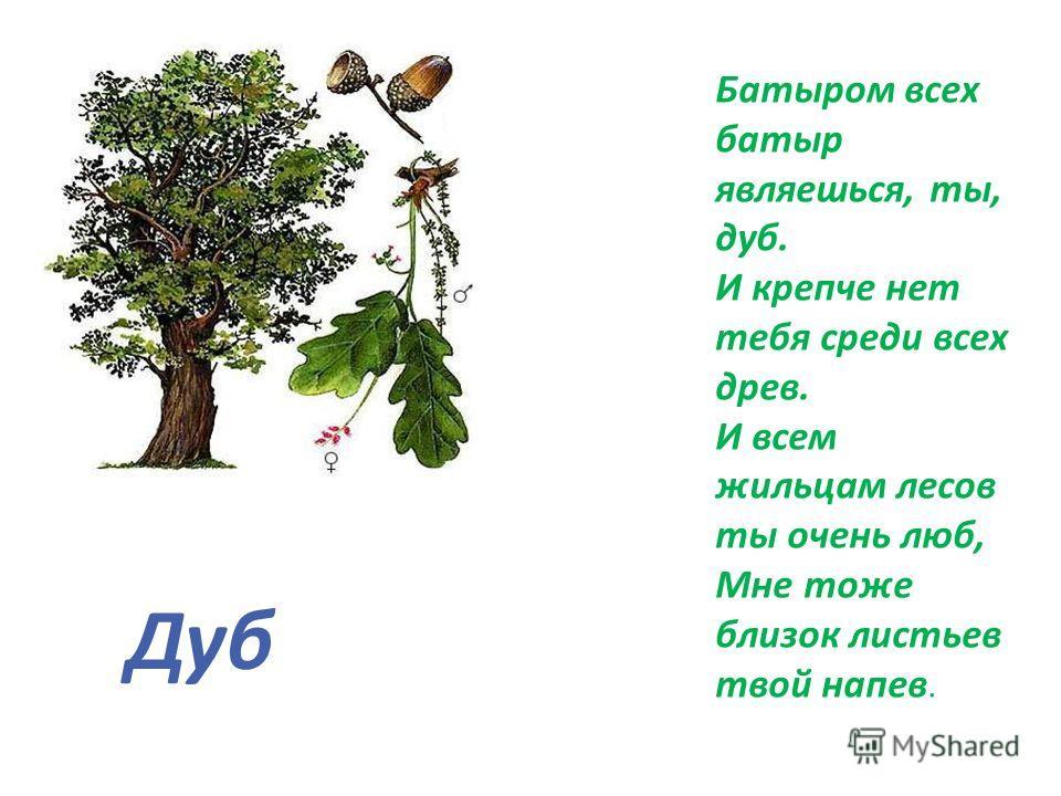 Батыром всех батыр являешься, ты, дуб. И крепче нет тебя среди всех древ. И всем жильцам лесов ты очень люб, Мне тоже близок листьев твой напев. Дуб