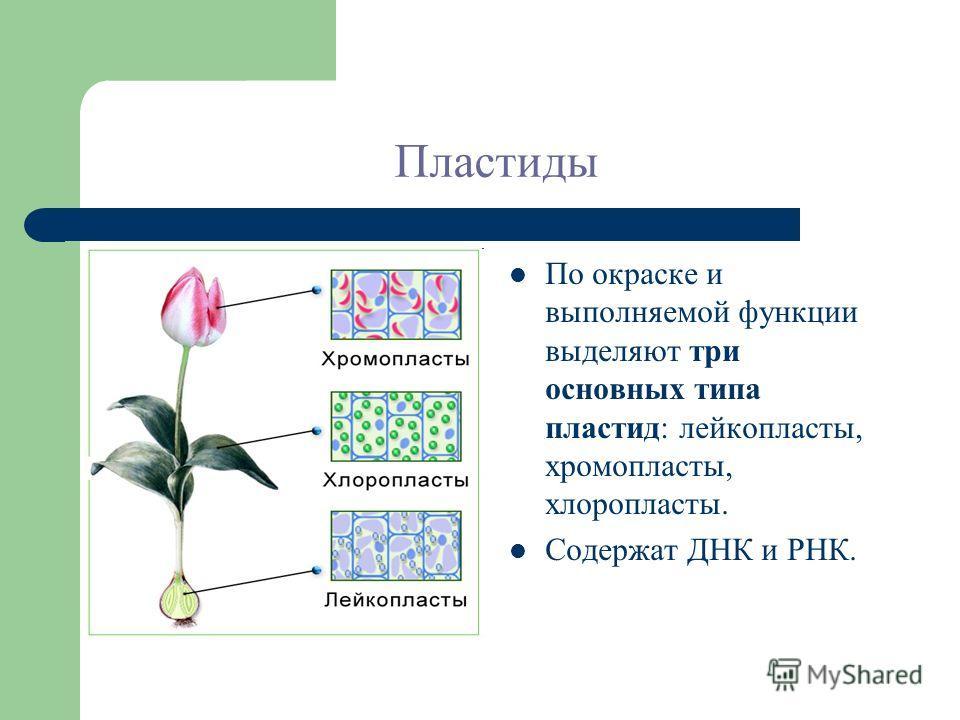 Пластиды По окраске и выполняемой функции выделяют три основных типа пластид: лейкопласты, хромопласты, хлоропласты. Содержат ДНК и РНК.