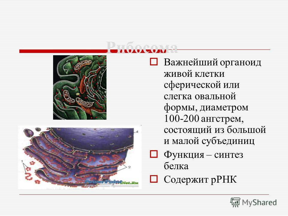 Рибосома Важнейший органоид живой клетки сферической или слегка овальной формы, диаметром 100-200 ангстрем, состоящий из большой и малой субъединиц Функция – синтез белка Содержит рРНК