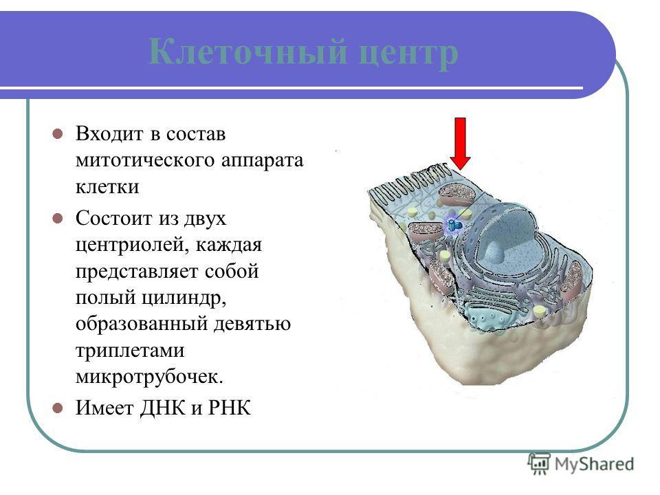 Клеточный центр Входит в состав митотического аппарата клетки Состоит из двух центриолей, каждая представляет собой полый цилиндр, образованный девятью триплетами микротрубочек. Имеет ДНК и РНК