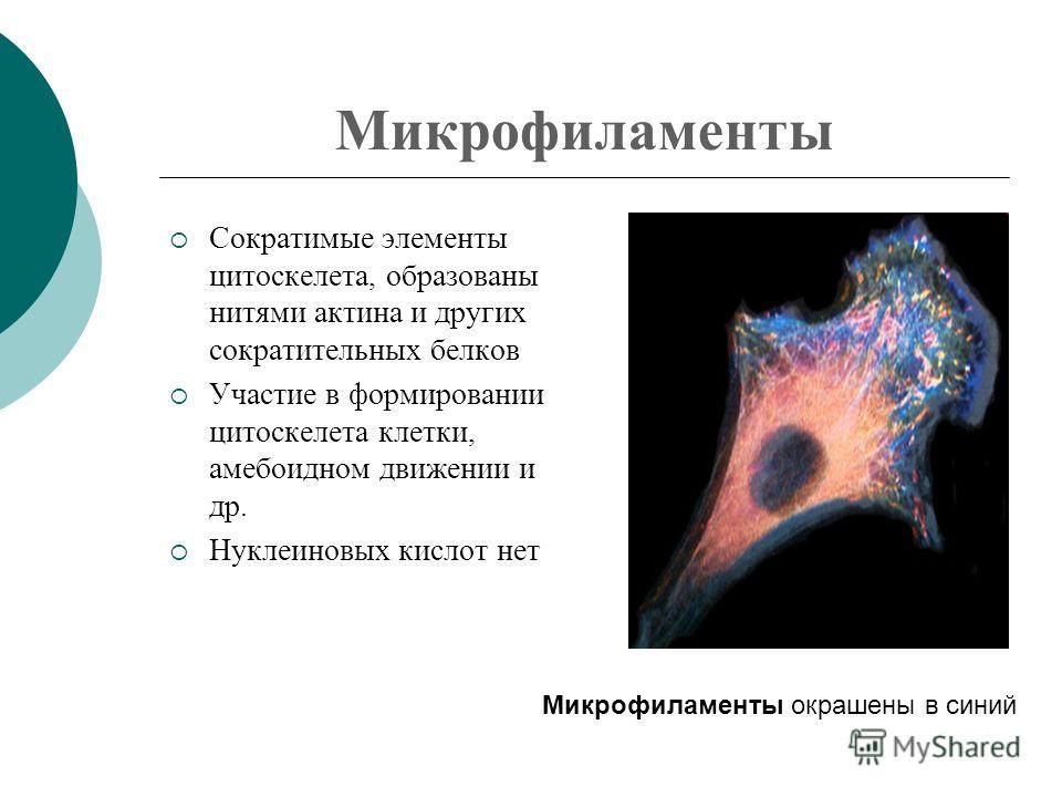 Микрофиламенты Сократимые элементы цитоскелета, образованы нитями актина и других сократительных белков Участие в формировании цитоскелета клетки, амебоидном движении и др. Нуклеиновых кислот нет Микрофиламенты окрашены в синий