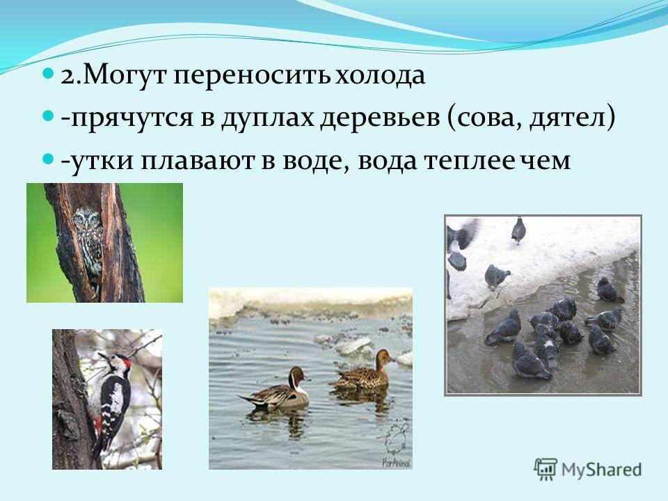 2. Могут переносить холода -прячутся в дуплах деревьев (сова, дятел) -утки плавают в воде, вода теплее чем воздух.