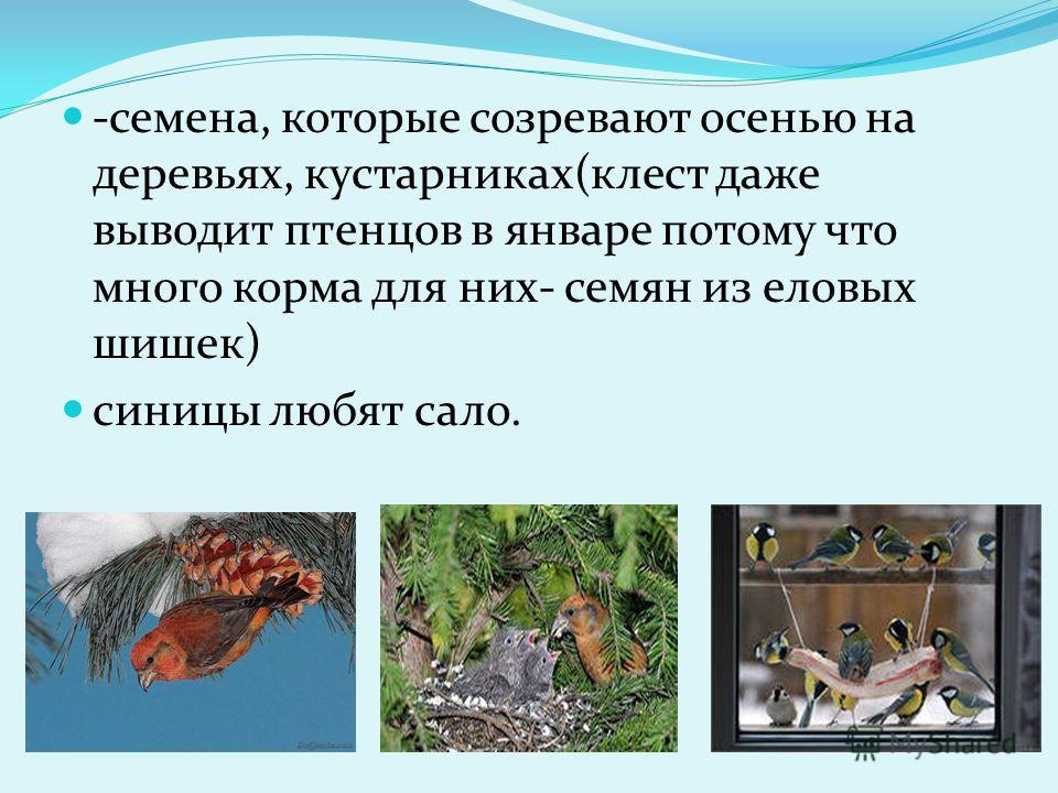 -семена, которые созревают осенью на деревьях, кустарниках(клест даже выводит птенцов в январе потому что много корма для них- семян из еловых шишек) синицы любят сало.