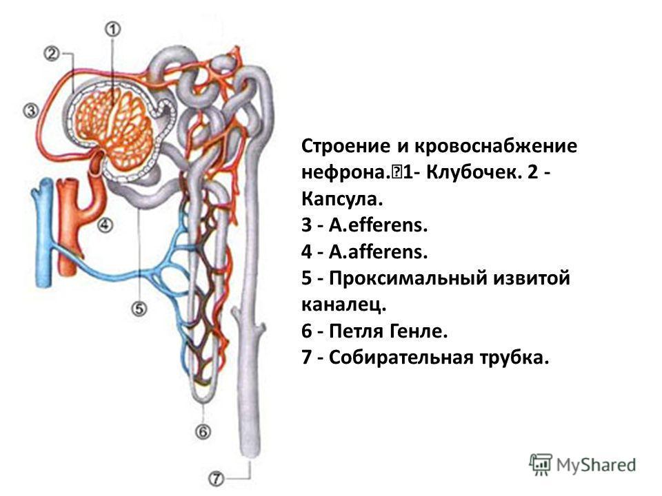Строение и кровоснабжение нефрона. 1- Клубочек. 2 - Капсула. 3 - A.efferens. 4 - A.afferens. 5 - Проксимальный извитой каналец. 6 - Петля Генле. 7 - Собирательная трубка.