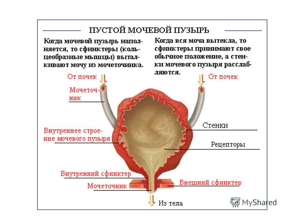 Мочевой пузырь и его лечение в домашних условиях