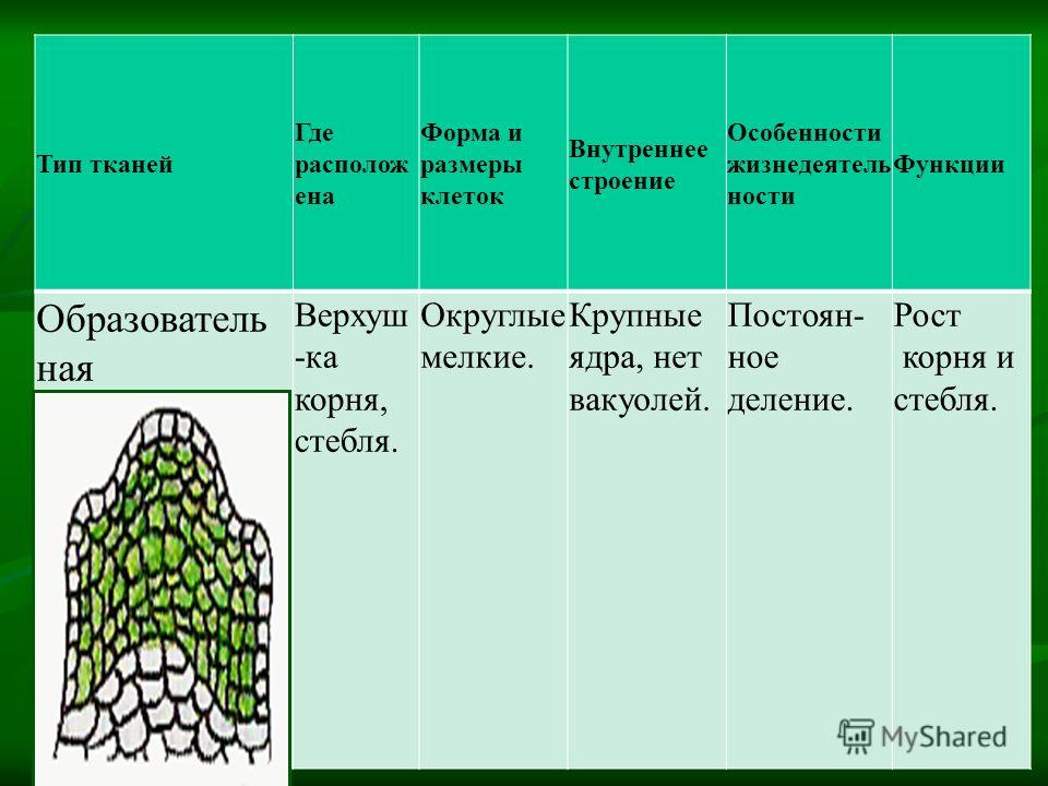 Тип тканей Где располож ена Форма и размеры клеток Внутреннее строение Особенности жизнедеятель ности Функции Образователь ная Верхуш -ка корня, стебля. Округлые мелкие. Крупные ядра, нет вакуолей. Постоян- ное деление. Рост корня и стебля.
