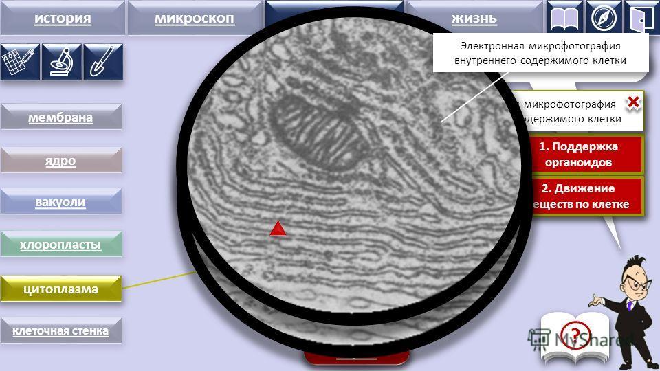 история микроскопстроение жизнь цитоплазма Цитоплазма – вязкая жидкость, заполняющая всю клетку Функции цитоплазмы: 1. Поддержка органоидов 2. Движение веществ по клетке 1. Поддержка органоидов 2. Движение веществ по клетке сброс мембрана вакуоли стр