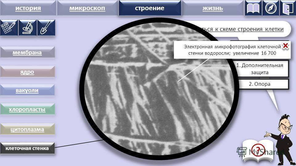 история микроскопстроение жизнь клеточная стенка Клеточная стенка – толстая оболочка, снаружи покрывающая мембрану клетки. Состоит из множества переплетённых, как пряди в канате, нитей вещества целлюлозы строение Функции клеточной стенки: 1. Дополнит