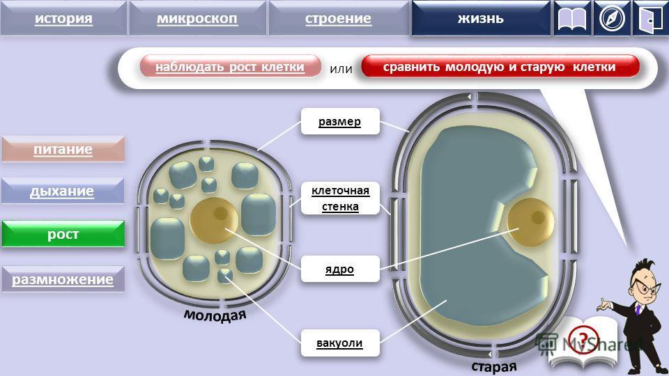 история микроскопстроение жизнь наблюдать рост клетки питание дыхание рост размножение размер ядро вакуоли клеточная стенка жизнь