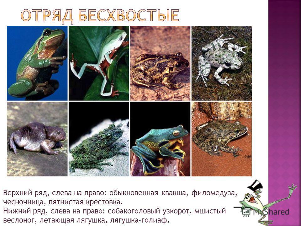 Верхний ряд, слева на право: обыкновенная квакша, филомедуза, чесночница, пятнистая крестовка. Нижний ряд, слева на право: собакоголовый узкорот, мшистый веслоног, летающая лягушка, лягушка-голиаф.