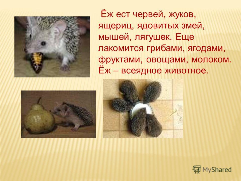 Ёж ест червей, жуков, ящериц, ядовитых змей, мышей, лягушек. Еще лакомится грибами, ягодами, фруктами, овощами, молоком. Ёж – всеядное животное.