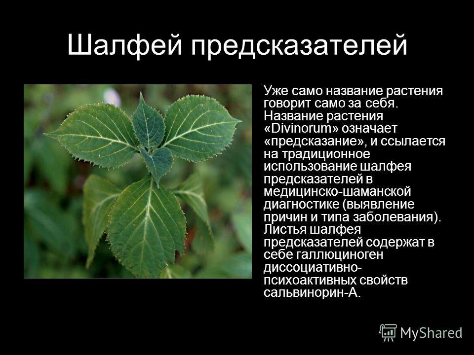 Шалфей предсказателей Уже само название растения говорит само за себя. Название растения «Divinorum» означает «предсказание», и ссылается на традиционное использование шалфея предсказателей в медицинско-шаманской диагностике (выявление причин и типа