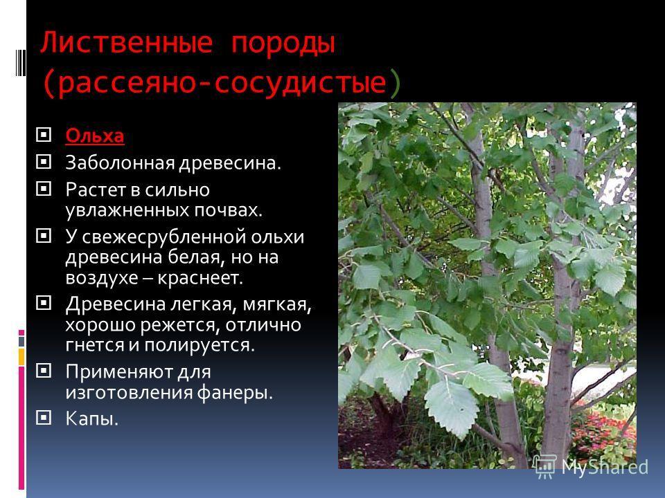 Лиственные породы (рассеяно-сосудистые) Ольха Заболонная древесина. Растет в сильно увлажненных почвах. У свежесрубленной ольхи древесина белая, но на воздухе – краснеет. Древесина легкая, мягкая, хорошо режется, отлично гнется и полируется. Применяю