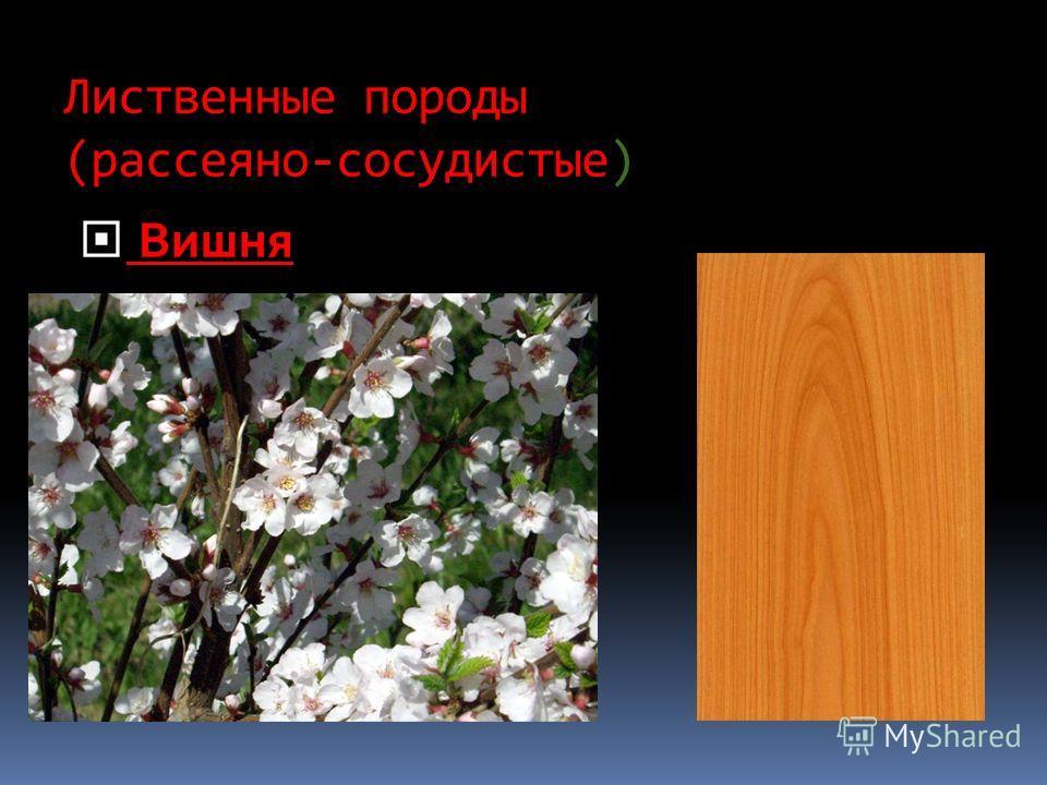 Лиственные породы (рассеяно-сосудистые) Вишня