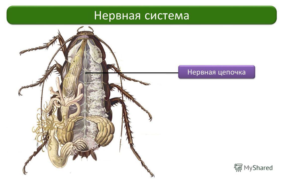 Нервная система Нервная цепочка