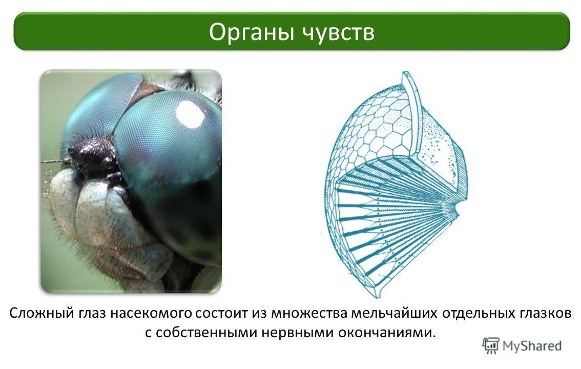 Сложный глаз насекомого состоит из множества мельчайших отдельных глазков с собственными нервными окончаниями. Органы чувств