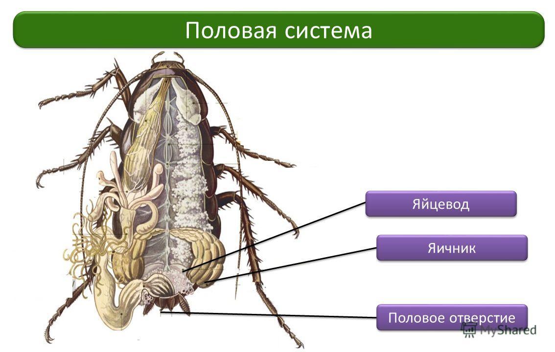 Половая система Яйцевод Яичник Половое отверстие