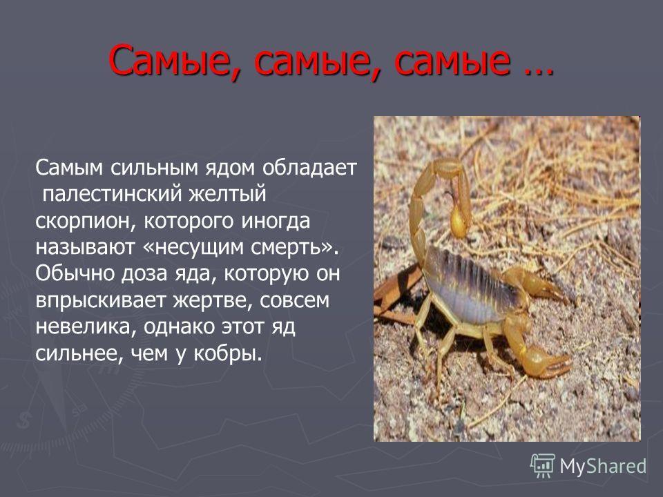 Самые, самые, самые … Самым сильным ядом обладает палестинский желтый скорпион, которого иногда называют «несущим смерть». Обычно доза яда, которую он впрыскивает жертве, совсем невелика, однако этот яд сильнее, чем у кобры.