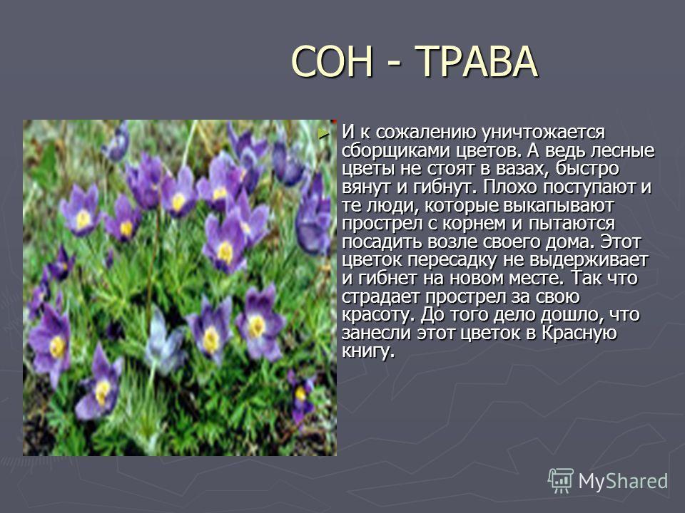 СОН - ТРАВА СОН - ТРАВА И к сожалению уничтожается сборщиками цветов. А ведь лесные цветы не стоят в вазах, быстро вянут и гибнут. Плохо поступают и те люди, которые выкапывают прострел с корнем и пытаются посадить возле своего дома. Этот цветок пере