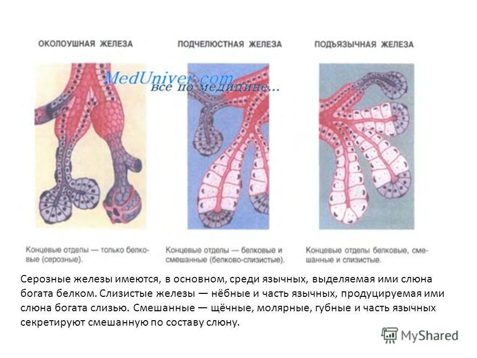 Железы Щечные фото