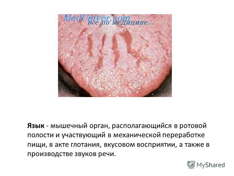 Язык - мышечный орган, располагающийся в ротовой полости и участвующий в механической переработке пищи, в акте глотания, вкусовом восприятии, а также в производстве звуков речи.