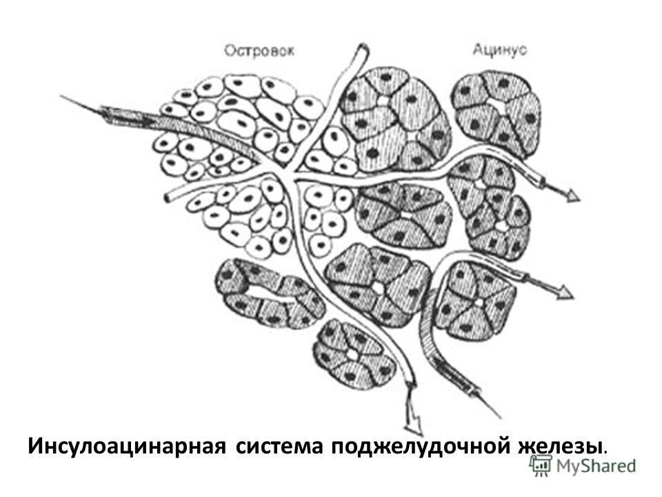 Инсулоацинарная система поджелудочной железы.