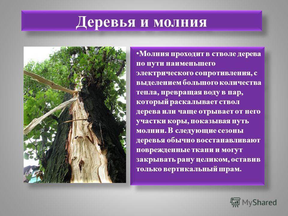 Деревья и молния Молния проходит в стволе дерева по пути наименьшего электрического сопротивления, с выделением большого количества тепла, превращая воду в пар, который раскалывает ствол дерева или чаще отрывает от него участки коры, показывая путь м