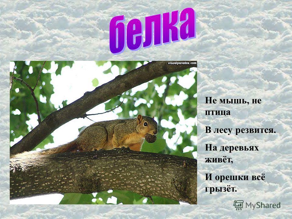 Не мышь, не птица В лесу резвится. На деревьях живёт, И орешки всё грызёт.