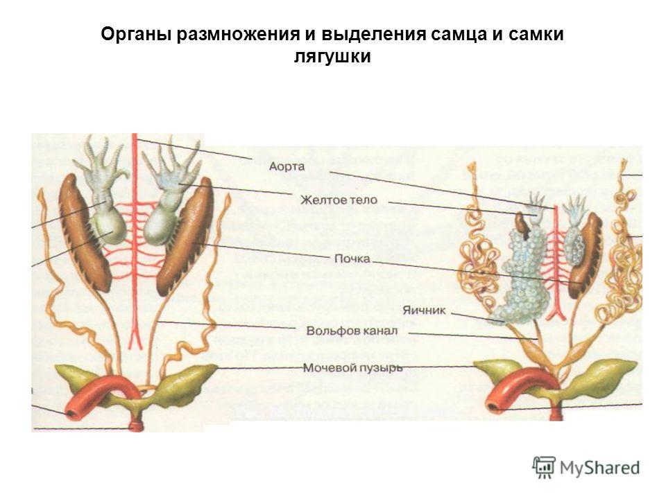 Органы размножения и выделения самца и самки лягушки