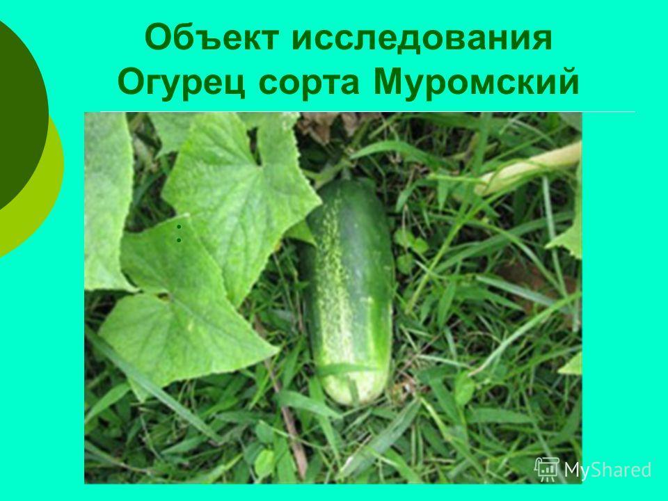 Объект исследования Огурец сорта Муромский :