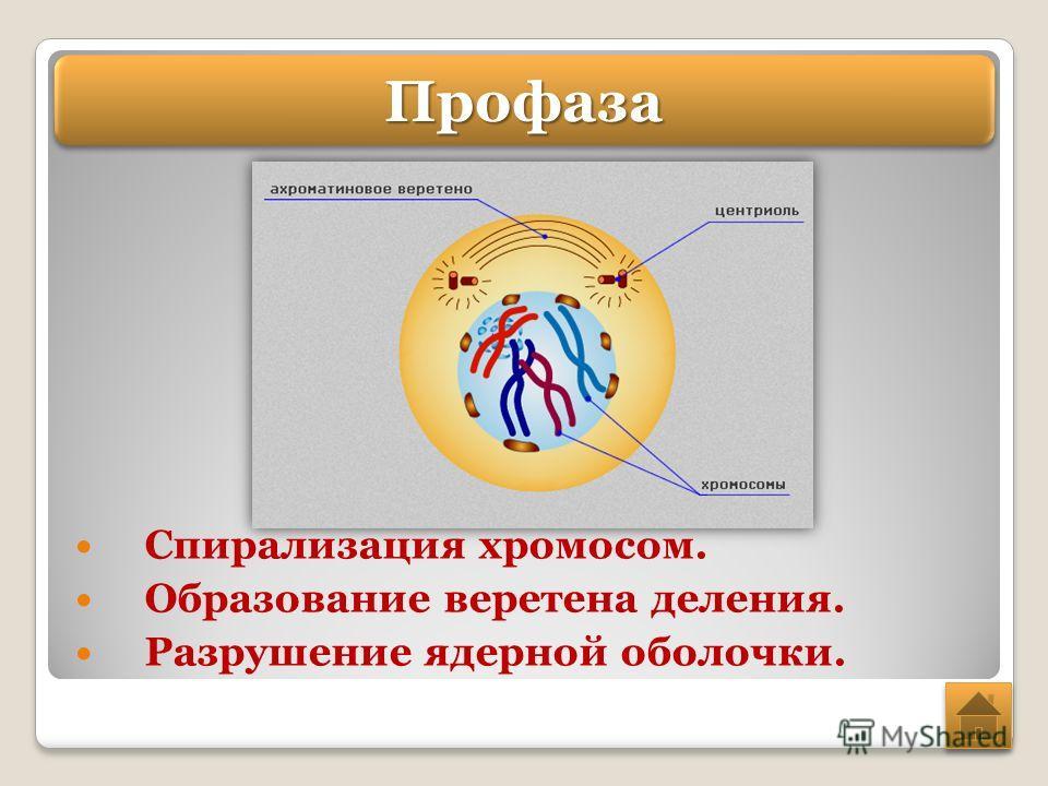 Спирализация хромосом. Образование веретена деления. Разрушение ядерной оболочки. Профаза Профаза