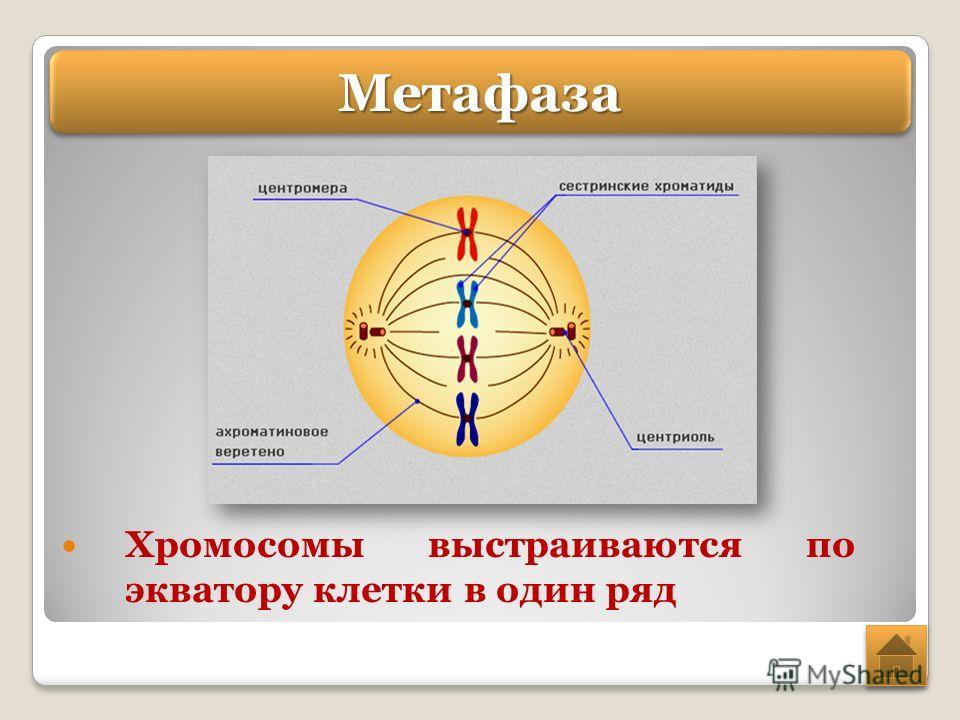 Хромосомы выстраиваются по экватору клетки в один ряд Метафаза Метафаза